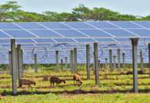 Grazing sheep help to keep grass from growing into the solar panels at Kauai Island Utility