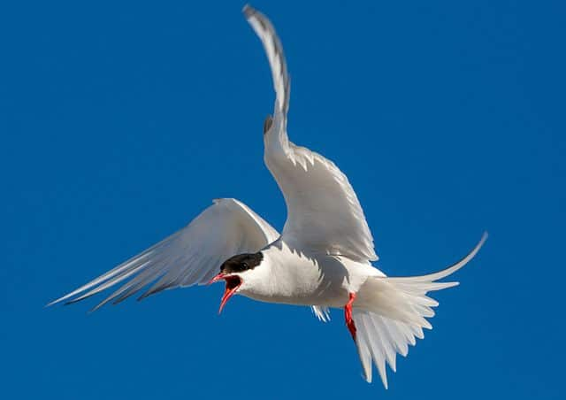 Arctic terns protect their offspring extremely aggressively. © AWeith/ Creative Commons Attribution-Share Alike 4.0
