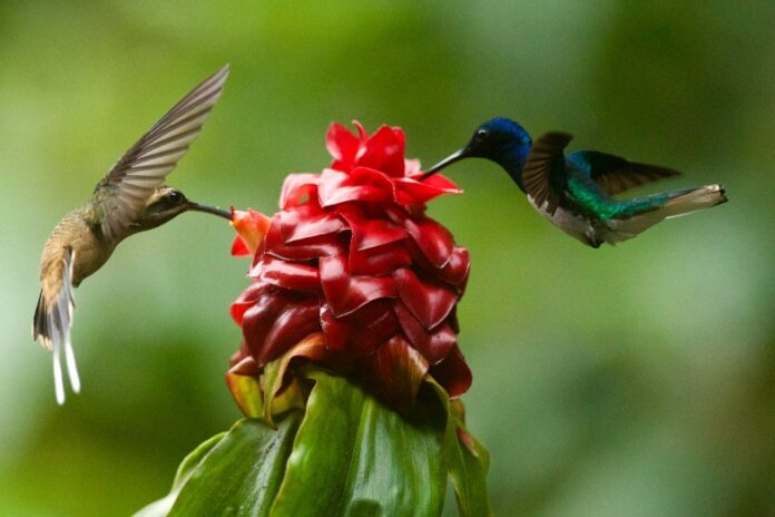Two hummingbirds collecting nectar from flower